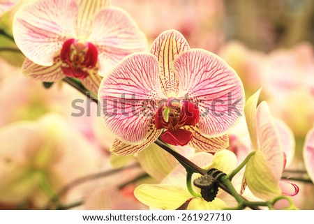 Phalaenopsis,Moth Orchid flowers,beautiful red with yellow flowers in full bloom in the garden in spring  - stock photo