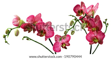 Phalaenopsis orchid - stock photo