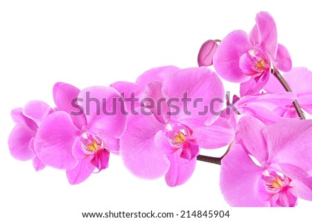Phalaenopsis orchid branch isolated on white background, close up view