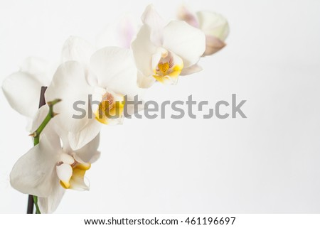 Phalaenopsis orchid branch white on a white background.