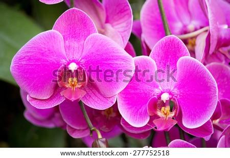 phalaenopsis orchid flower - stock photo