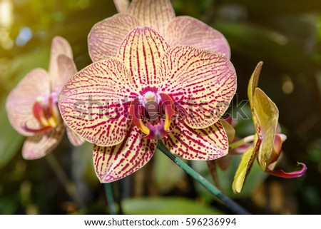 Phalaenopsis Orchid flower, Orchids is considered the queen of flowers in Thailand