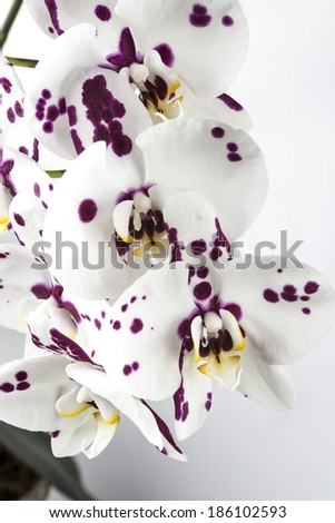 Phalaenopsis orchid, known as the Moth Orchid, abbreviated Phal in the horticultural trade