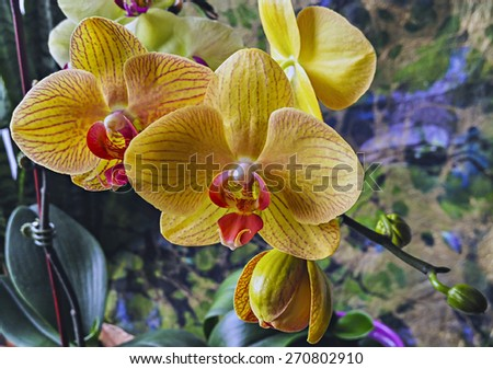 Phalaenopsis orchid, known as the Moth Orchid, abbreviated Phal in the horticultural trade  - stock photo