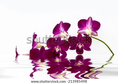 phalaenopsis orchid on isolated background and great reflection - stock photo