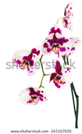 Phalaenopsis orchid with the color dalmatian.Dalmatian Orchid.  isolated - stock photo