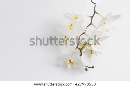 Phalaenopsis orchids and bud close up over white background