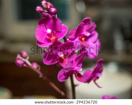 Phalaenopsis orchids are well known for their relatively large bloom size and striking colors. - stock photo
