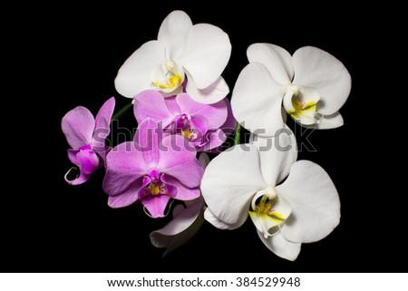 Phalaenopsis orchids isolated.