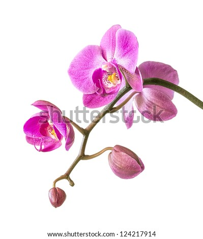 Phalaenopsis. Pink orchid on white background - stock photo
