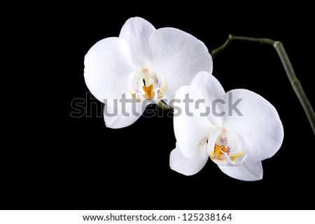 Phalaenopsis. Two white orchid flowers with dew isolated on black background
