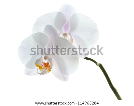 Phalaenopsis. White orchid flowers isolated on white background. Front view - stock photo