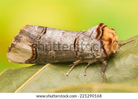 Phalera bucephala - stock photo