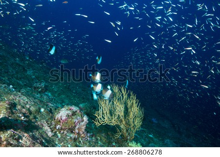 Phang Nga, THAILAND - FEB 28: Coral and fish underwater in Similan Islands, Thailand on February 28, 2015.