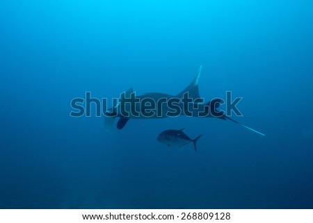 Phang Nga, THAILAND - FEB 28: Swimming Manta Ray under water in Similan Islands, thailand on February 28, 2015.