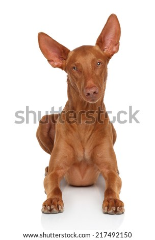 Pharaoh Hound on white lying on white background