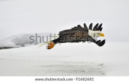 Phase of flight Bald Eagle on snow covered background. Alaska Chilkat Bald Eagle Preserve, Alaska, USA - stock photo