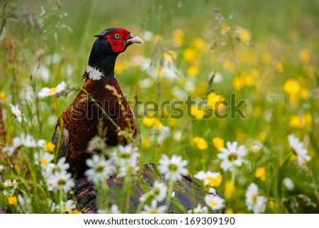 pheasant  - stock photo