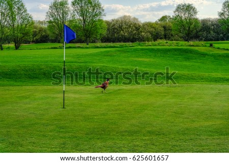 Pheasant bird strolling on  the golf course green