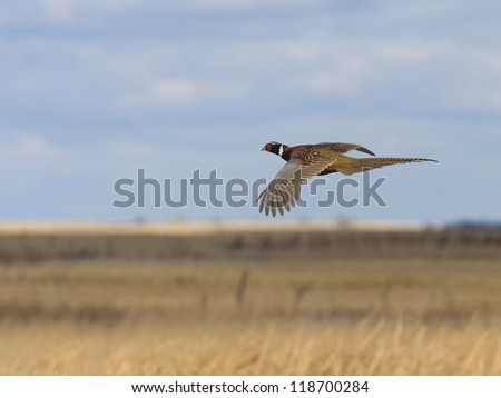 Pheasant flying over the prairie - stock photo