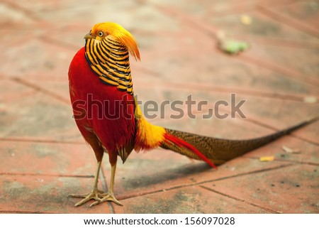 Pheasant in the nature of the country. - stock photo