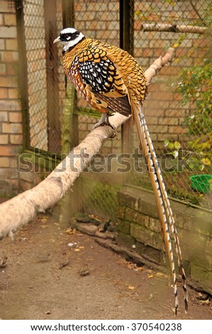 pheasant on a branch - stock photo