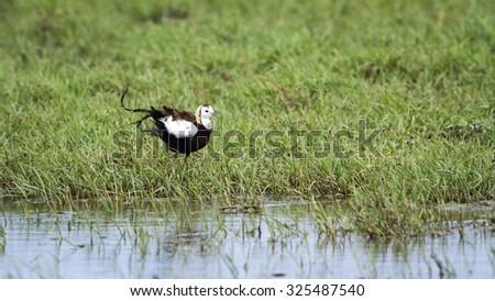 Pheasant-tailed jacana in Bundala national park, Sri Lanka ; specie Hydrophasianus chirurgus - stock photo