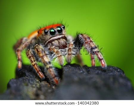 Phidippus whitmani jumping spider closeup - stock photo
