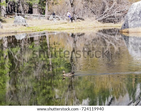 Philippine duck swimming in mirror lake with beautiful reflection at Yosemite National Park, United States