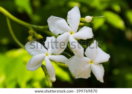 gardenia flower stock images, royaltyfree images  vectors, Natural flower