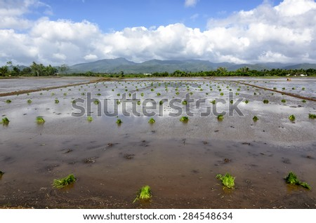 Philippines rice seedlings in rice paddies ready for the season's planting. - stock photo