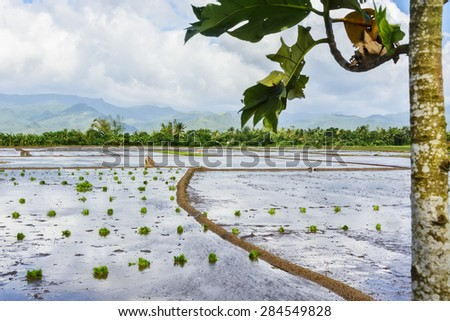 Philippines rice seedlings in rice paddy ready for the season's planting.