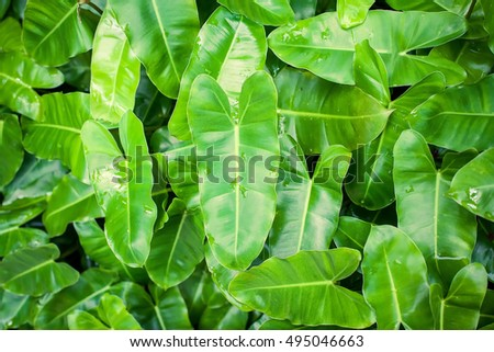 Philodendron from Thailand It is believed that are ornamental plants sacred and give Prosperity Should be planted in the hous