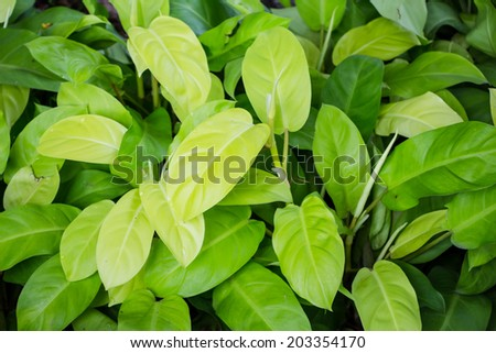 Philodendron plant in a garden - stock photo