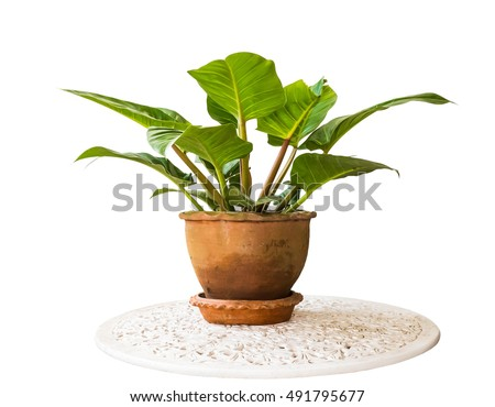 Philodendron tree in potted isolated on white background