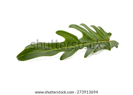 Philodendron Xanadu leaf isolated on white background - stock photo
