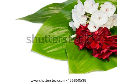 phlox and pelargonia flowers  isolated on a white background with space for text. - stock photo