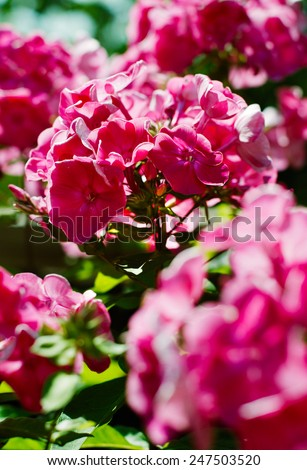 phlox flower during the flowering close to the background of other flowers - stock photo