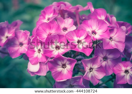 Phlox flower in the garden. Shallow depth of field. Toned image. - stock photo