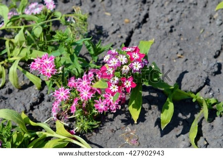 phlox flowers,  twinkling star