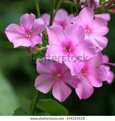 Phlox paniculata - stock photo