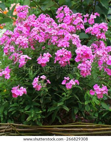 Phlox paniculata (Garden phlox) in bloom - stock photo