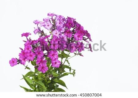 phloxes on a white background - stock photo