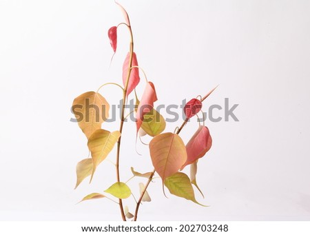pho or bodhi leave on white background - stock photo