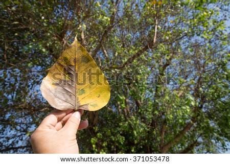 Phodi leaf in hand background is big phodi tree. - stock photo