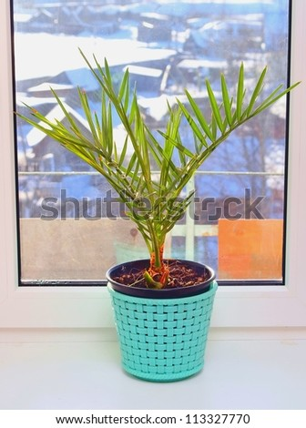 Phoenix canariensis. Cultivation of a date palm tree on a window sill - stock photo
