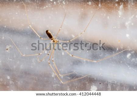 Pholcus phalangioides. Long-legged spider. - stock photo