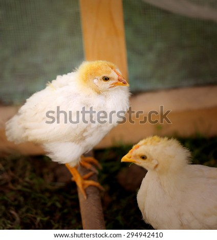 Photo beautiful fluffy chickens on a farm