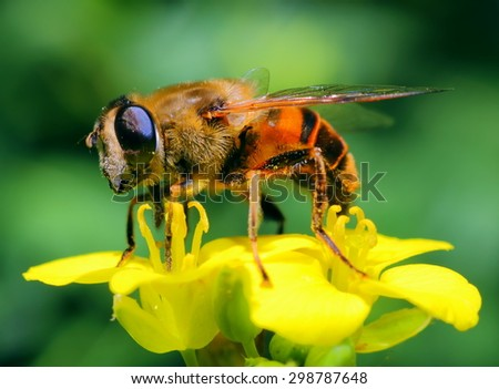 Photo bee collecting nectar on yellow flowers  - stock photo
