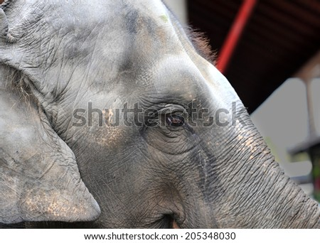 photo big close-up portrait of an elephant   - stock photo